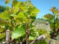 Vineyard-in-Spring-001-1024x768