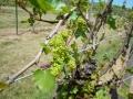 Vineyard-in-Spring-002-1024x768