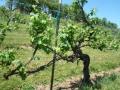 Vineyard-in-Spring-003-1024x768
