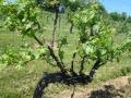 Vineyard-in-Spring-004-1024x768