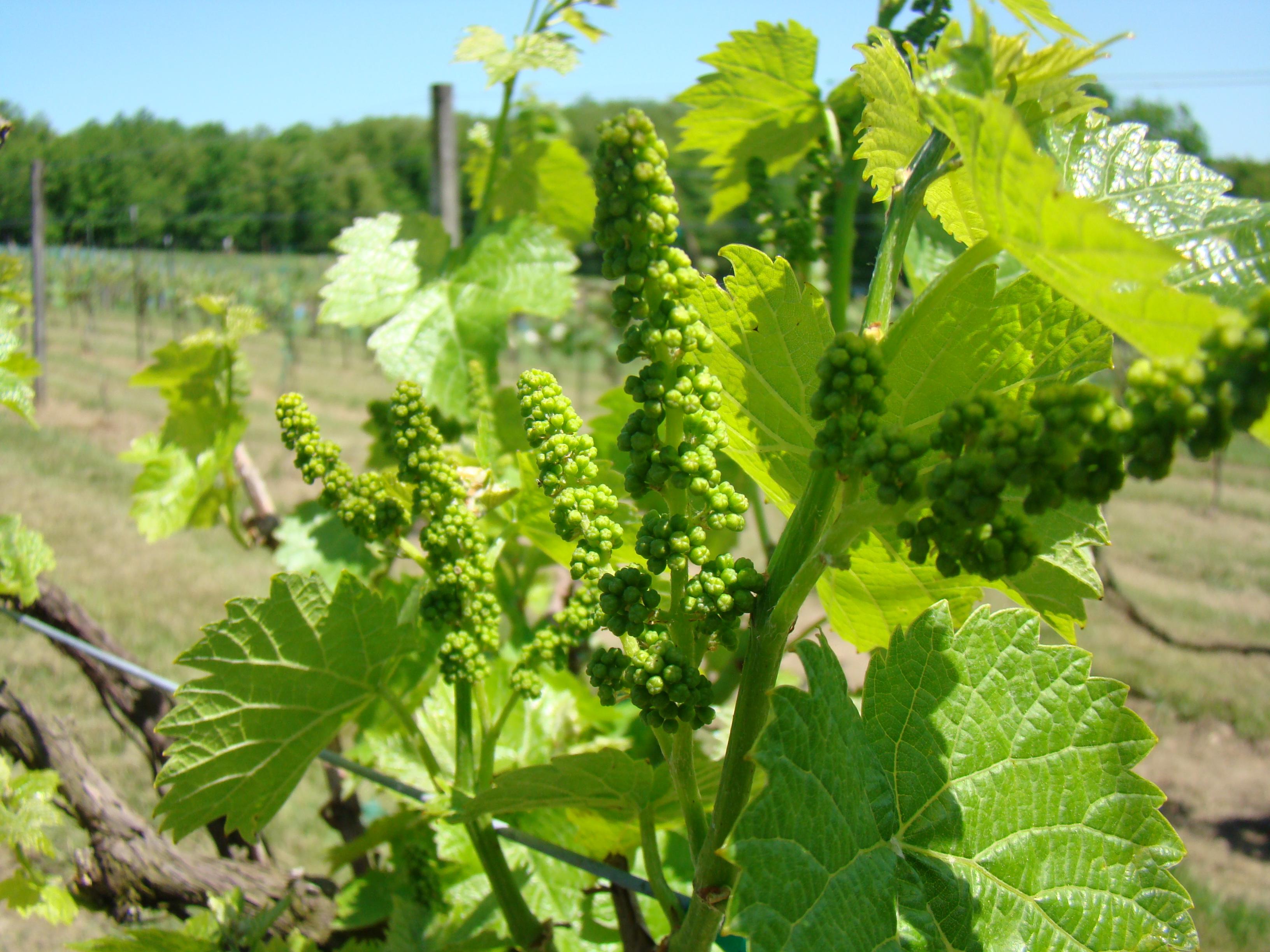 Image result for spring vineyard