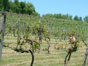 Vineyard in Spring 011